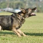 Leinenaggression beim Hund